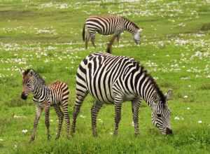 africa wilderness young zebra